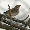 Chipping Sparrow during Fall migration
