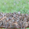 Chipping Sparrows at the buffet