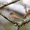 Chipping Sparrow during Spring migration