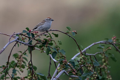 0U2A3940 _Chipping Sparrow