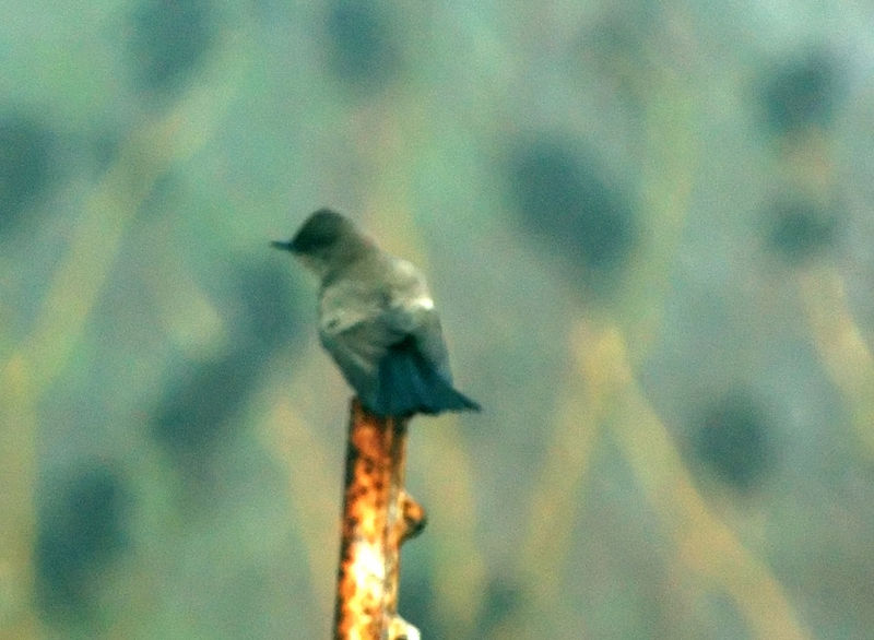 Eastern Phoebe<br /> Heavily enhanced to cut through severe fog<br /> <br /> Nikon D70<br /> Focal Length: 340mm<br /> Optimize Image: Custom<br /> Color Mode: Mode Ia (sRGB)<br /> Long Exposure NR: Off<br /> 2005/12/24 07:49:50.8<br /> Exposure Mode: Manual<br /> White Balance: Auto<br /> Tone Comp.: Auto<br /> Compressed RAW (12-bit)<br /> Metering Mode: Multi-Pattern<br /> AF Mode: Manual<br /> Hue Adjustment: -3°<br /> Image Size: Large (3008 x 2000)<br /> 1/100 sec - F/5.6<br /> Flash Sync Mode: Front Curtain<br /> Saturation: Normal<br /> Exposure Comp.: 0 EV<br /> Auto Flash Mode: i-TTL<br /> Sharpening: Normal<br /> Lens: VR 70-200mm F/2.8 G<br /> Sensitivity: ISO 200<br /> Auto Flash Comp: 0 EV<br /> Image Comment: Copyright (c) Trent R. Stanley      <br /> [#End of Shooting Data Section]