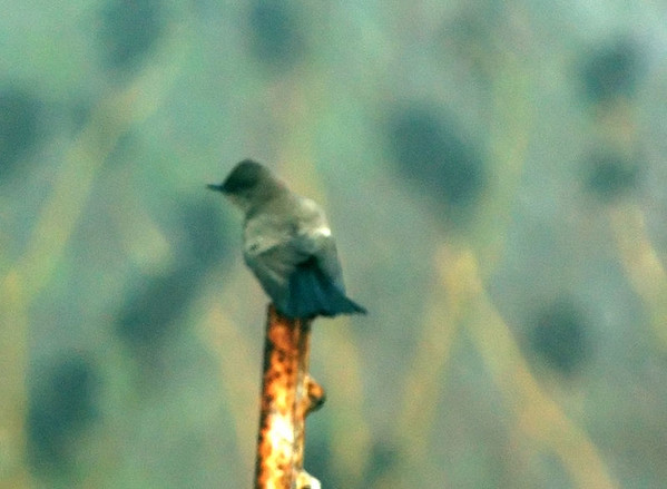 Eastern Phoebe Heavily enhanced to cut through severe fog  Nikon D70 Focal Length: 340mm Optimize Image: Custom Color Mode: Mode Ia (sRGB) Long Exposure NR: Off 2005/12/24 07:49:50.8 Exposure Mode: Manual White Balance: Auto Tone Comp.: Auto Compressed RAW (12-bit) Metering Mode: Multi-Pattern AF Mode: Manual Hue Adjustment: -3° Image Size: Large (3008 x 2000) 1/100 sec - F/5.6 Flash Sync Mode: Front Curtain Saturation: Normal Exposure Comp.: 0 EV Auto Flash Mode: i-TTL Sharpening: Normal Lens: VR 70-200mm F/2.8 G Sensitivity: ISO 200 Auto Flash Comp: 0 EV Image Comment: Copyright (c) Trent R. Stanley       [#End of Shooting Data Section]