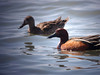 ACY 09AP2515<br /> <br /> Cinnamon Teal (female & male).