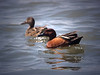 ACY 09AP2517<br /> <br /> Cinnamon Teal (male & female).