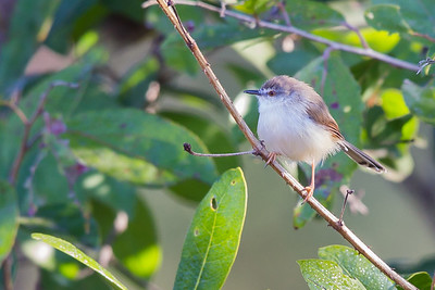 Jungle Prinia - Pench National Park, Madhya Pradesh, India