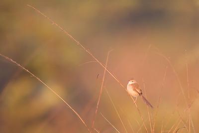 Plain Prinia - Near Koradi, Nagpur, India