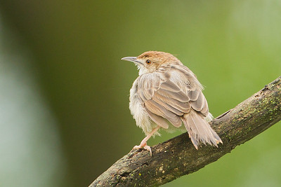 Rattling Cisticola - Lake Nakuru National Park, Kenya
