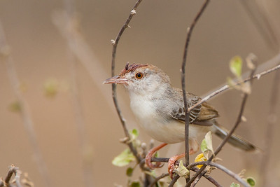 Rufous-fronted Prinia - Kutch, Gujrat, India