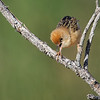 Golden-headed Cisticola,  Federation Walk Nature Reserve, Gold Coast, Queensland.