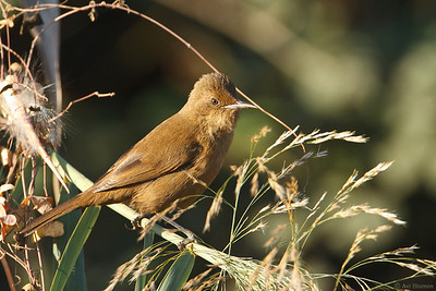 Clamorous reed warbler - Dark morph