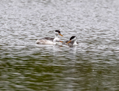 Clark's Grebe Adult and Juvenile