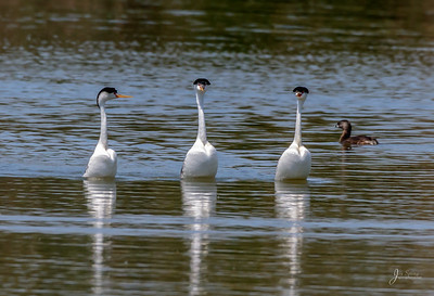 Clark's Grebes Trying to decide on the rush