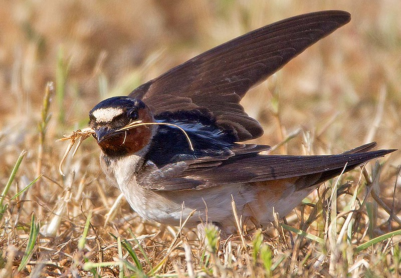 Cliff Swallow With Dry Grass for Nest