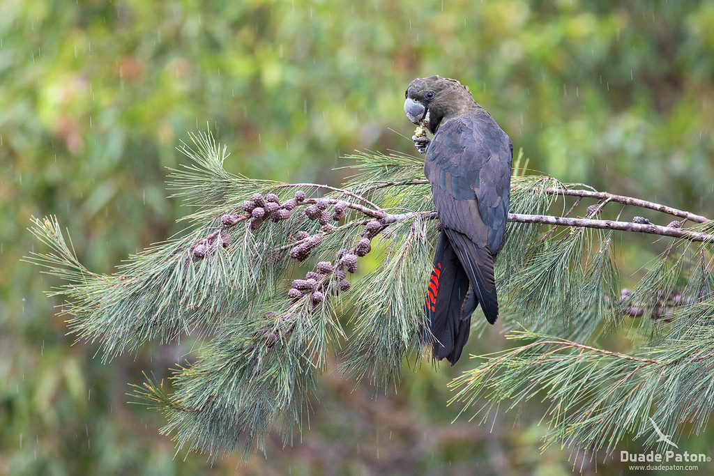 Glossy Black Cockatoo - Male