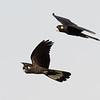 Yellow-tailed Black Cockatoos (Calyptorhynchus funereus)