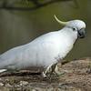 Sulphur-crested Cockatoo (Cacatua galerita)
