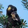 Male Yellow-tailed Black Cockatoo (Calyptorhynchus funereus)
