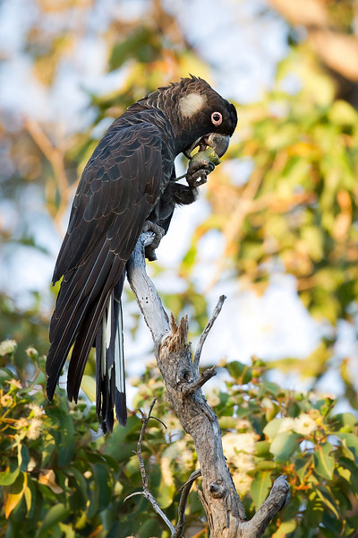 Baudin's (Long-billed) Black-Cockatoo (Calyptorhynchus larirostris). Margaret River, Western Australia, Australia. Habitat destruction and fragmentation, coupled with persecution from farmers, relegate this bird to an endangered species. It is closely related to the Carnaby's or Short-billed Cockatoo, but differs in having a longer upper mandible which it uses to eat the seed of the Marri tree as you can see from this image.