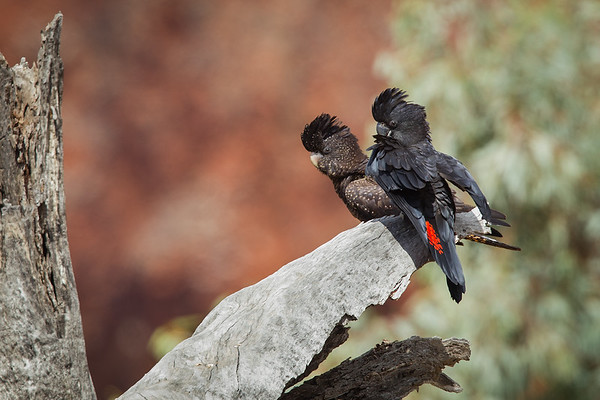 Red-tailed Black Cockatoo-5352©DavidStowe