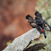 Red-tailed Black Cockatoo-5352©DavidStowe