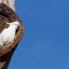 David Stowe_Sulphut-crested Cockatoo-0608-2