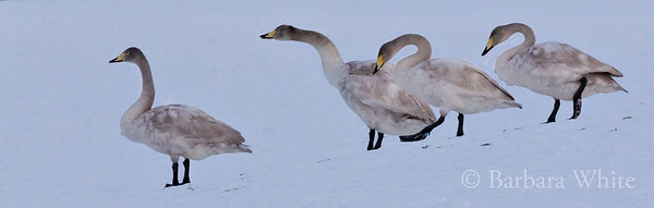 Juvenile Whooper Swans