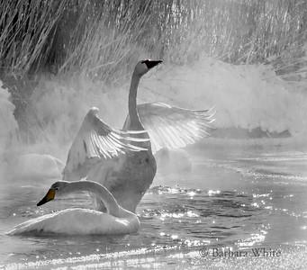 Whooper Swans III