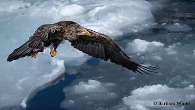 White Tailed Eagle Over Ice