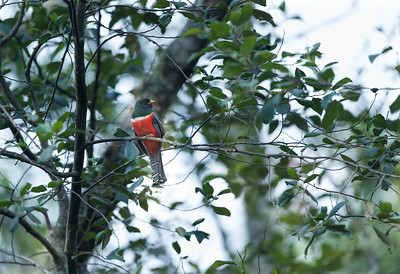 Collared Trogon (Trogon collaris)