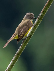 Apical Flycatcher