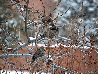 Mourning Doves in a Snow-covered Sweet Gum Tree