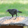 Freddie Van Halen, our hungry Common Grackle, has a bit of an attitude at the All-You-Can-Eat buffet!
