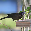 Guido, the male Common Grackle, is rather intimidating at the buffet.
