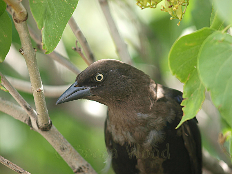 QQ 09AU7474<br /> <br /> Female Grackle.