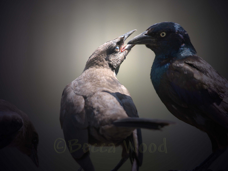 QQ 09AU7460<br /> <br /> Male Grackle feeding fledgling.