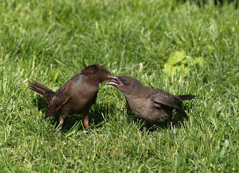 QQ 08JL2785<br /> <br /> Female Grackle feedking fledgling.