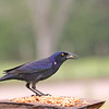 Guido, the Common Grackle, making a mess of the peanuts!