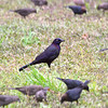 Common Grackle in the midst of Brown-Headed Cowbirds