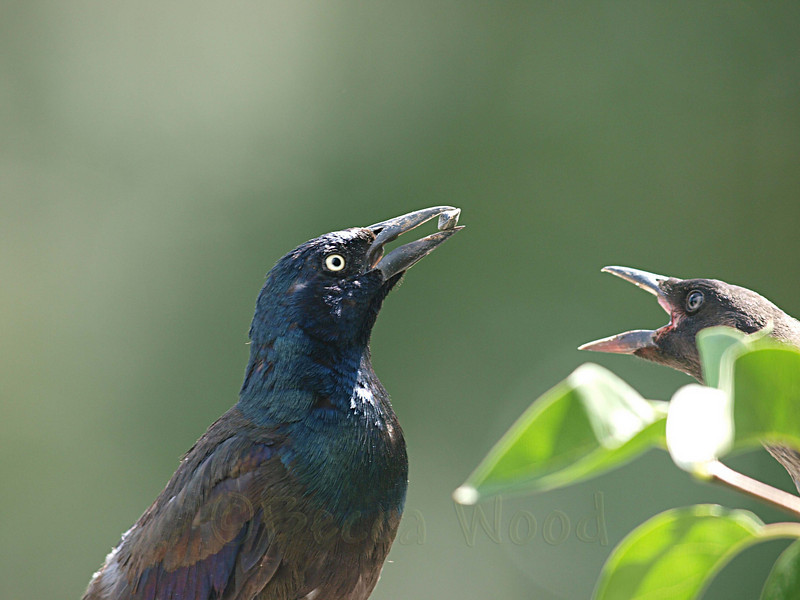 QQ 09AU7442<br /> <br /> Male Grackle feeding fledgling.