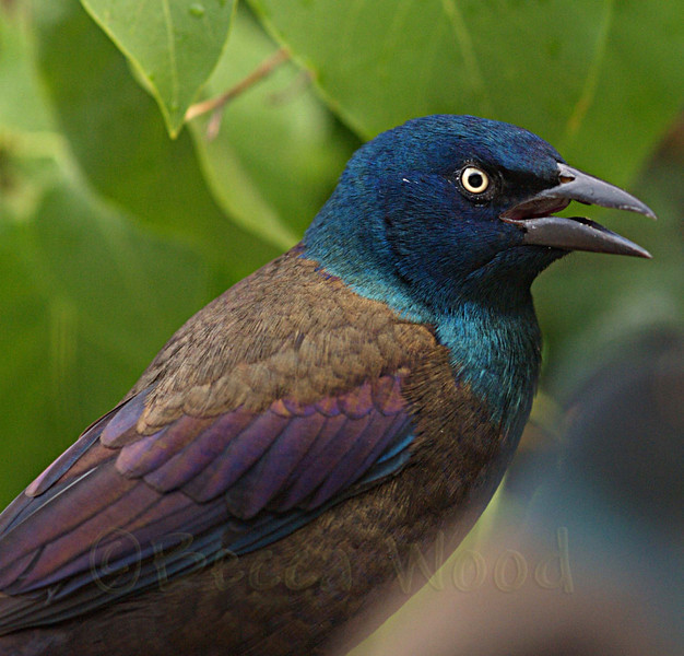 QQ 08SE6458<br /> <br /> Male Grackle.