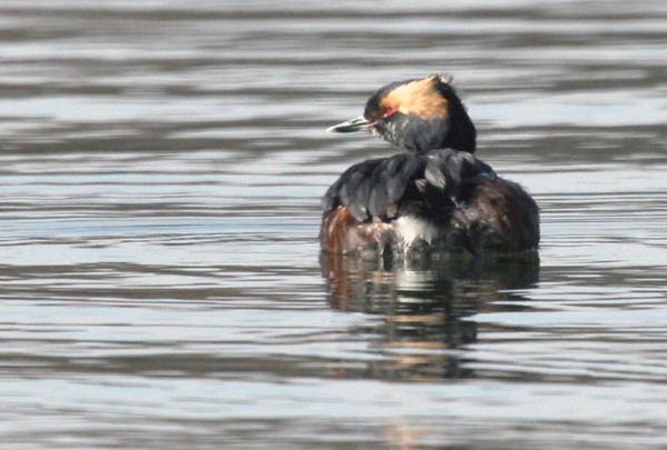 Common Loon & Horned Grebe