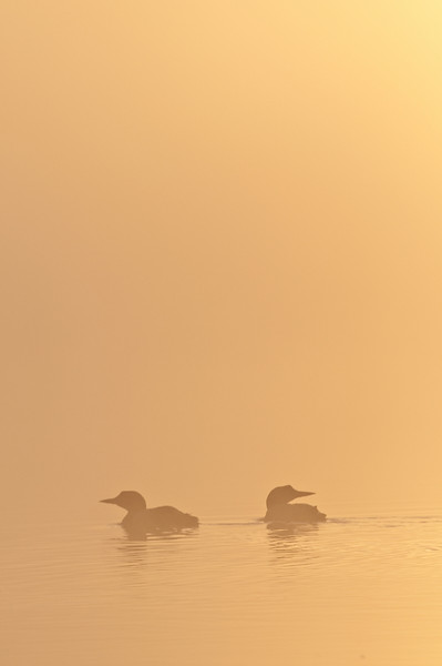 ACL-9057: Loon pair at sunrise
