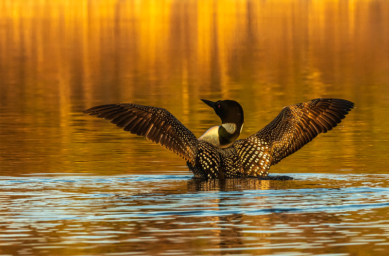 Loon wing stretch
