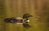 Loon and reflection