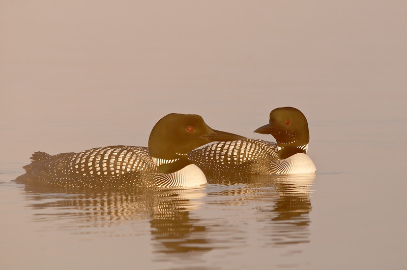 ACL-12092: Loon pair