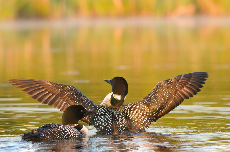 ACL-9323: Common Loon pair