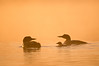 ACL-11063: Loon family in sunrise mist