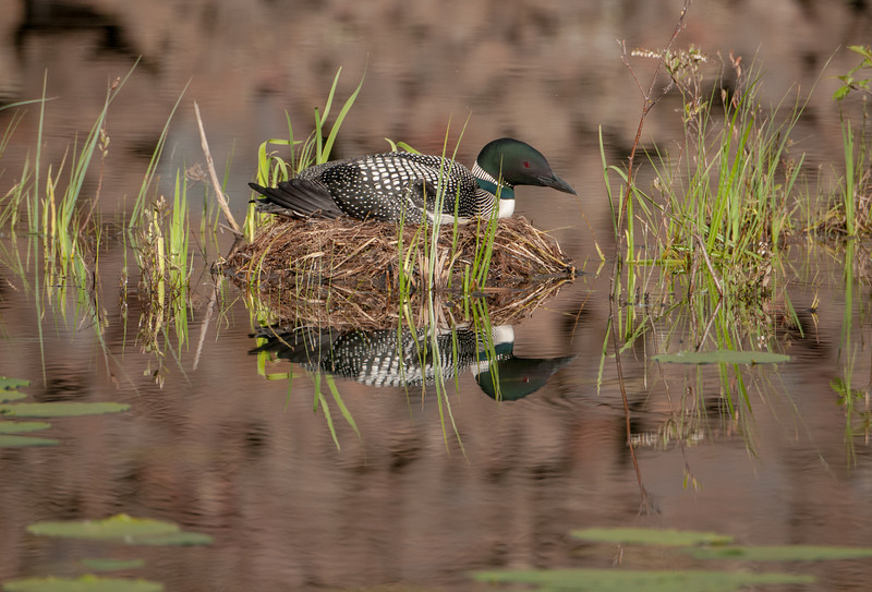 ACL-13-51: Loon on nest and reflection