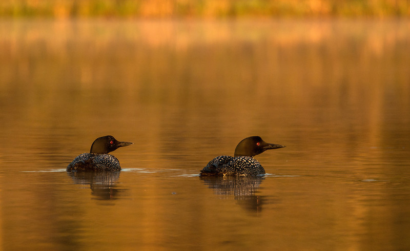 Loon pair in golden light