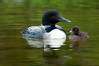 ACL-10126: Loon parent and chick